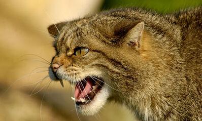 Scottish-Wildcat--001-1-