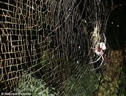 Giant Orb-Spider Africa