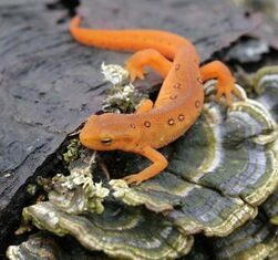 Red-Spotted Newt Eft Stage 1