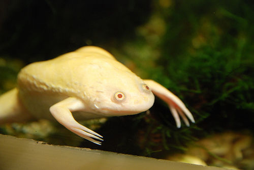 File:African Clawed Frog.jpg
