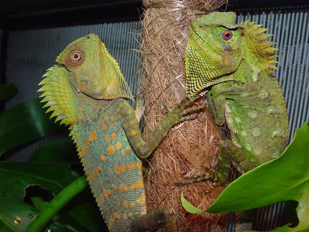 File:Gono pair (captivebredreptileforums.co.uk).jpg