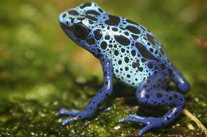 Blue-Poison Dart frog