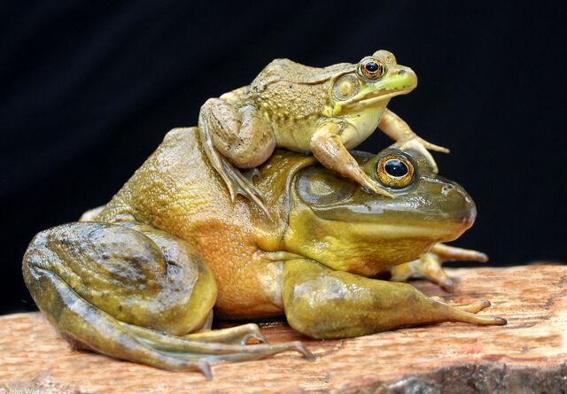 File:Bullfrog.jpg