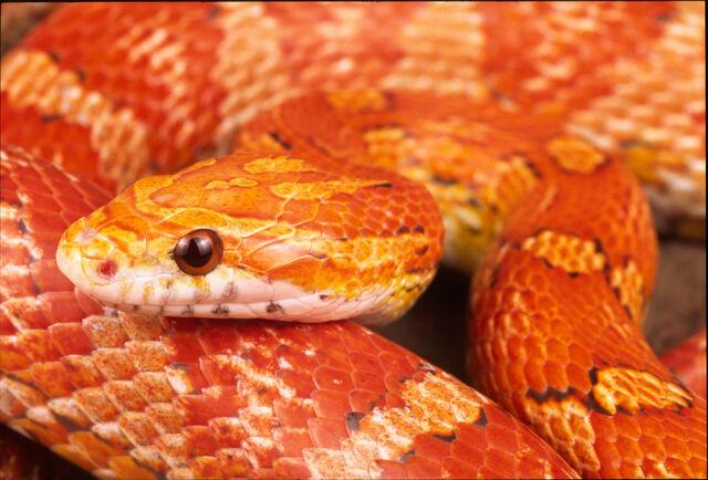 File:Corn snake.jpg