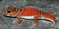 Knob-Tailed Gecko
