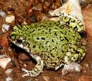 American Green Toad