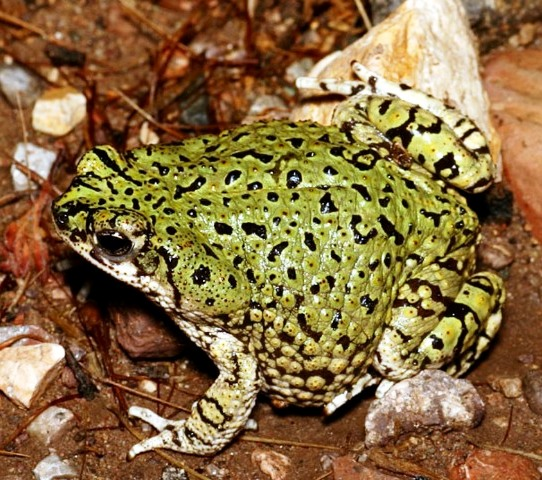 File:American Green Toad 1.jpg