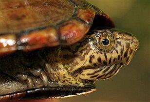 Mud Turtle 1