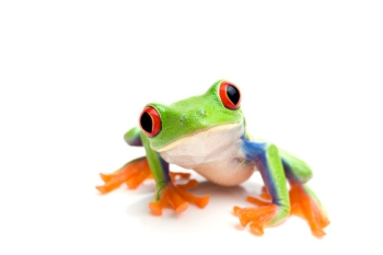 File:Red-Eyed Tree Frog 1.jpg