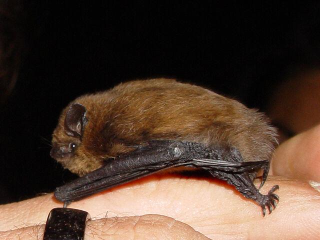 File:Pipistrellus pipistrellus lateral.jpg