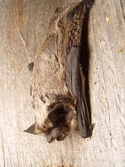 Vespertilio murinus 2