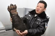 Severed-bear-paw-seized-china-chongqing-airport-01