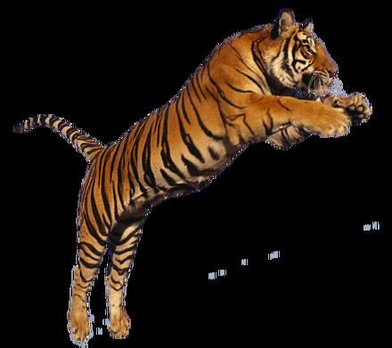 Tiger-jumping-transparent-png-image