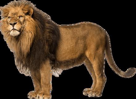 Lion-Free-Download-PNG