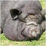 File:PigProfilepic10.jpg