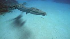 Nothosaur swimming