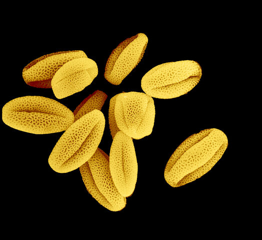 File:Pollen.jpg