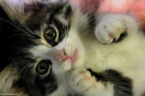46280-cats-black-and-white-kitty