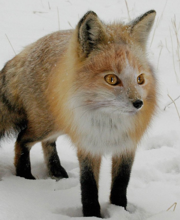 File:Foxfoot.png