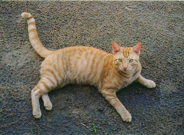 File:800px-Orange Tabby Full Body.jpg