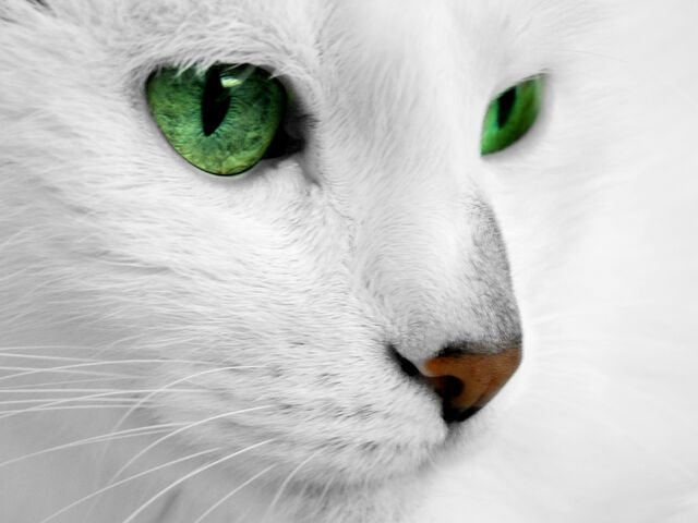 File:White cat with green eyes by reconreno-d5kkolm.jpg