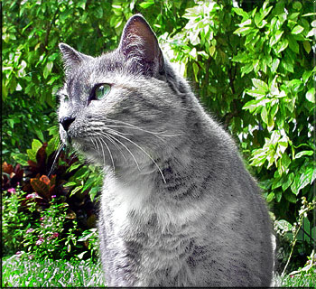 File:Gray cat.jpg