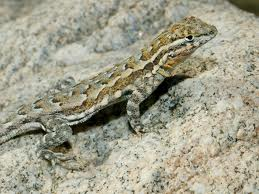 File:Lizard1.jpeg