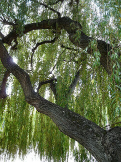 Willow, Strand-on-the-Green
