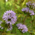 File:Watermint.png