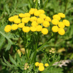 File:Tansy.png