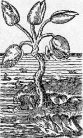 Barnacletree