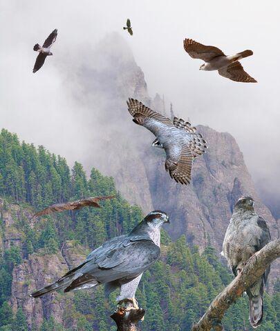 File:Northern Goshawk From The Crossley ID Guide Raptors.jpg
