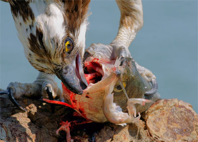 File:Pandion haliaetus -San Francisco Bay, California, USA-eating fish-8 (1).jpg