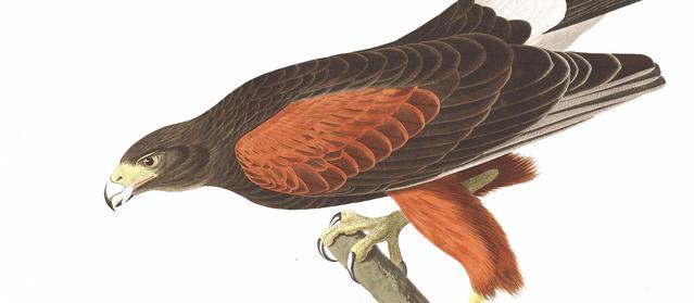 File:Baywing by audubon.png