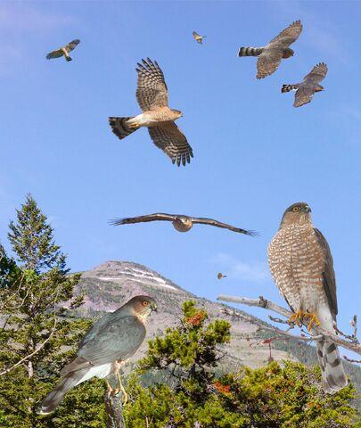 File:Sharp-shinned Hawk From The Crossley ID Guide Raptors.jpg