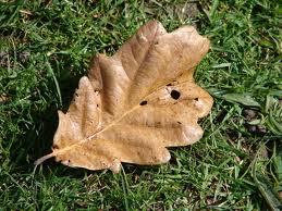 File:Dried Oak Leaf.jpg
