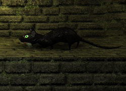 Rabid rat