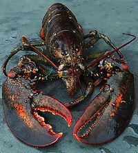 LobsterDM0811 468x521
