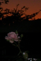 Nightrose.jpg