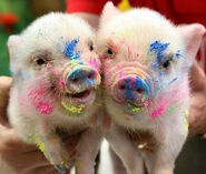 Cute Piglets Pictures 10