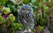 2013-10-Owl-Bird-with-Cool-Feather-Picture