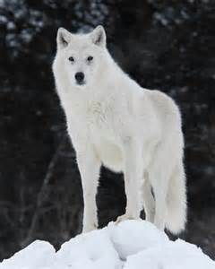 File:Shillow the wolf..jpg