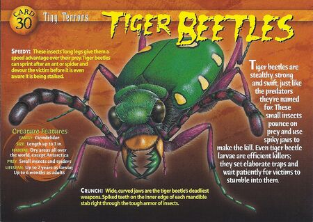 Tiger Beetles front
