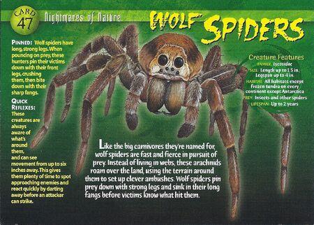 Wolf Spider front