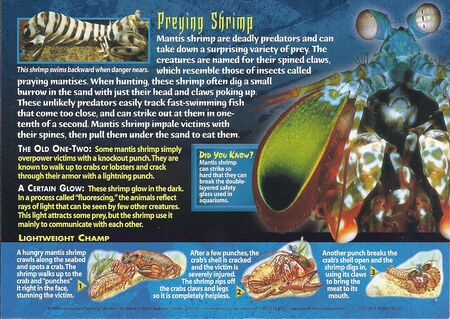 Mantis Shrimp back