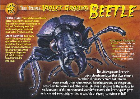 Violet Ground Beetle front