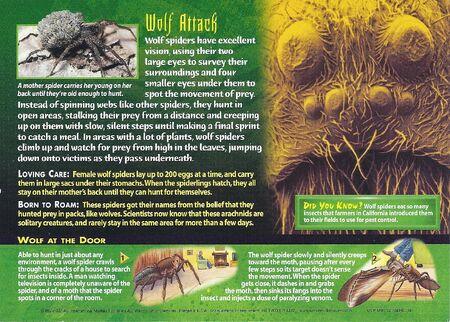 Wolf Spider back