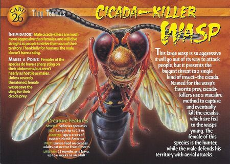 Cicada-Killer Wasp front