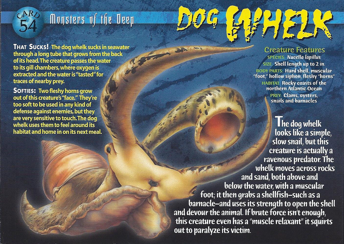 image dog whelk frontjpg wierd nwild creatures wiki