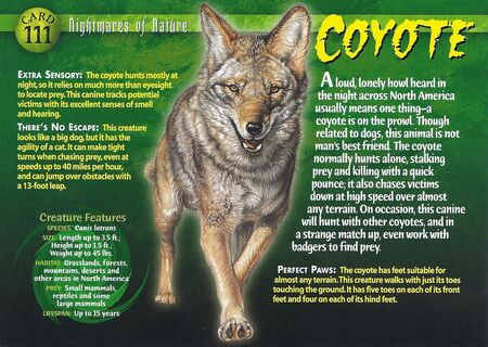 Coyote front